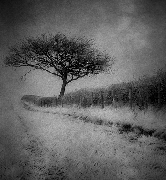 IR-Little Oak Tree