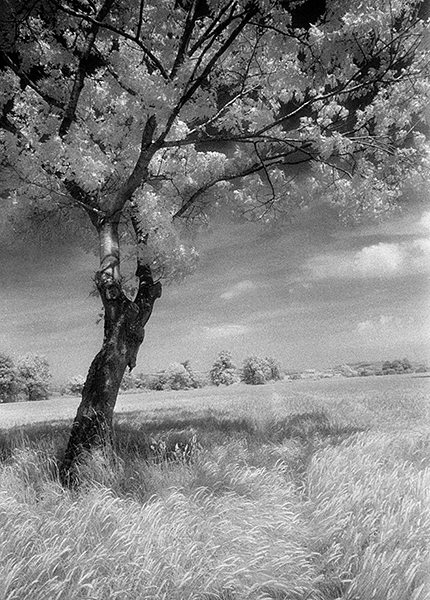 IR-Oak Tree at Harpton