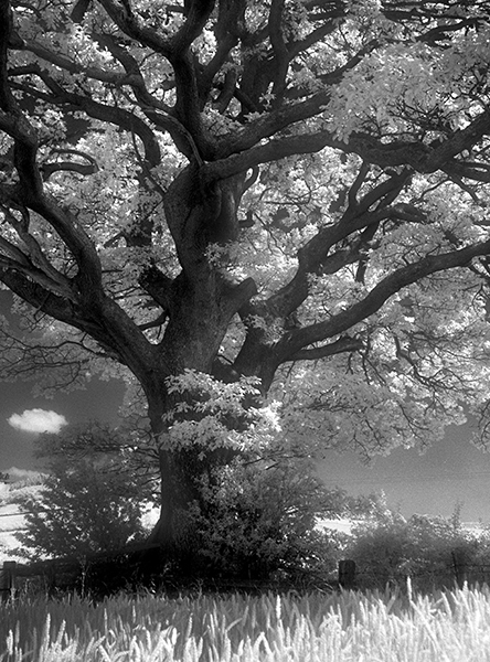 IR-Old Oak Tree